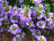 Auric field purple plant